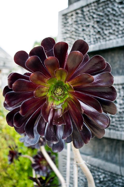 Aeonium Arboreum, Succulent, Plant, Blossom