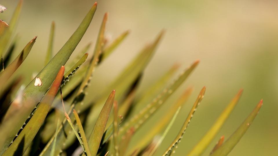 Nature, Aloe, Depth, Green, Succulent, Plant