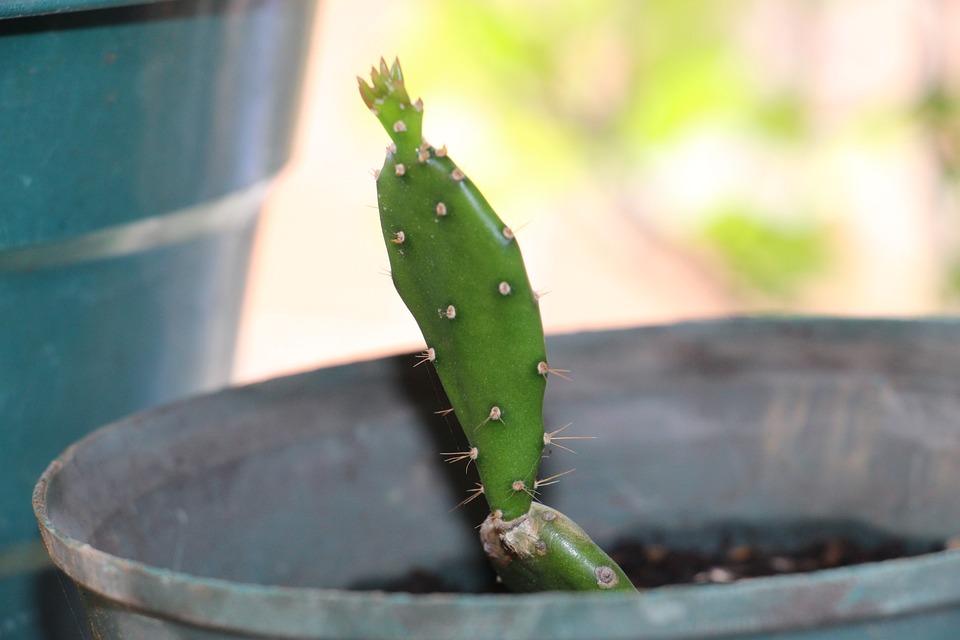 Cactus, Succulent, Flower, Plant, Flowerpot, Flora