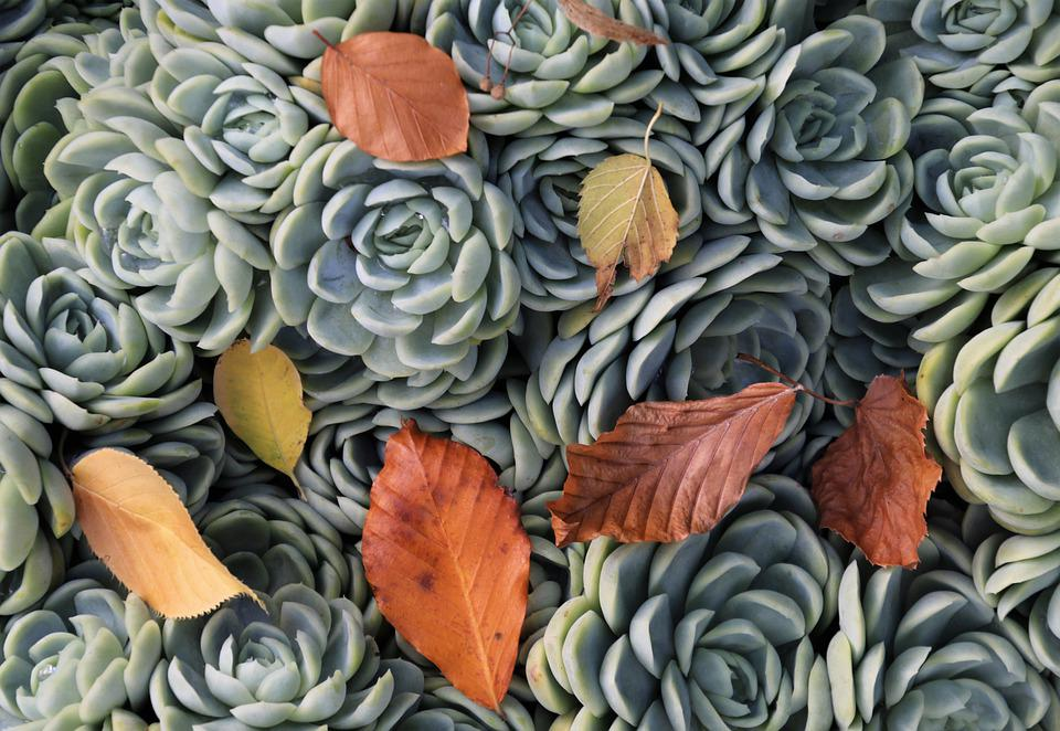 Succulents, Autumn Leaves, Plant, Garden, In The Fall