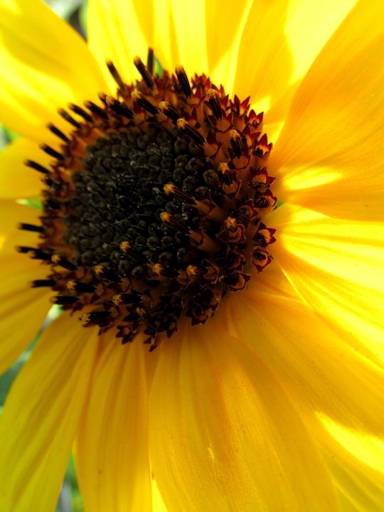 Sun Flower, Blossom, Bloom, Plant, Summer, Nature