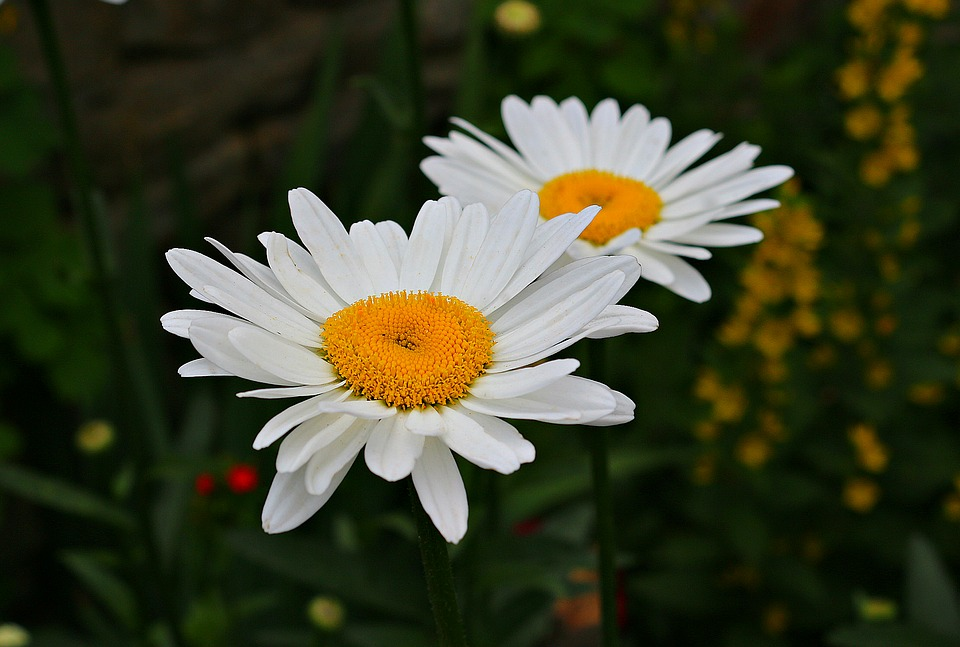 Free photo plant summer flowers yellow bloom chamomile white max pixel chamomile bloom flowers yellow white plant summer mightylinksfo