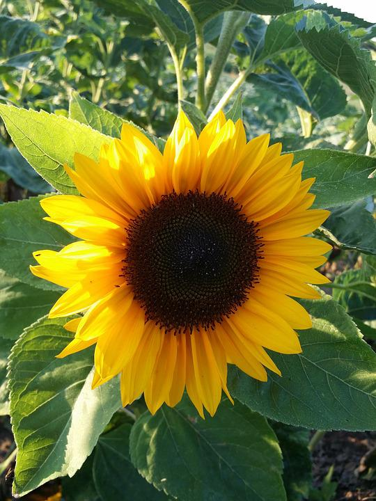 Sun Flower, Summer, Yellow, Plant