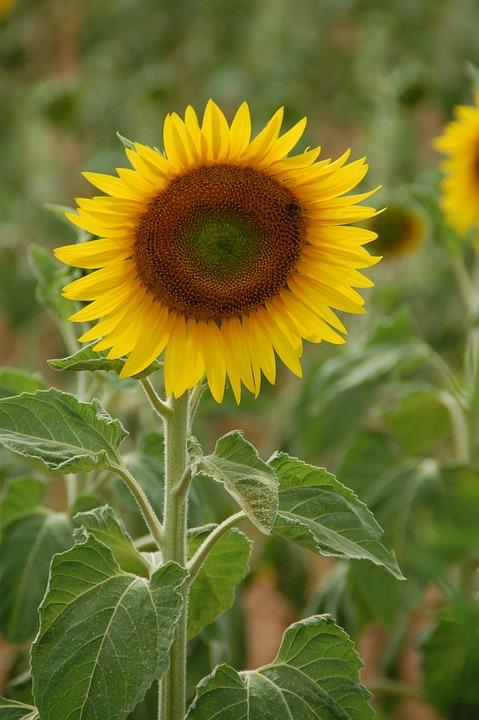 Sunflower, Plant, Flower, Yellow