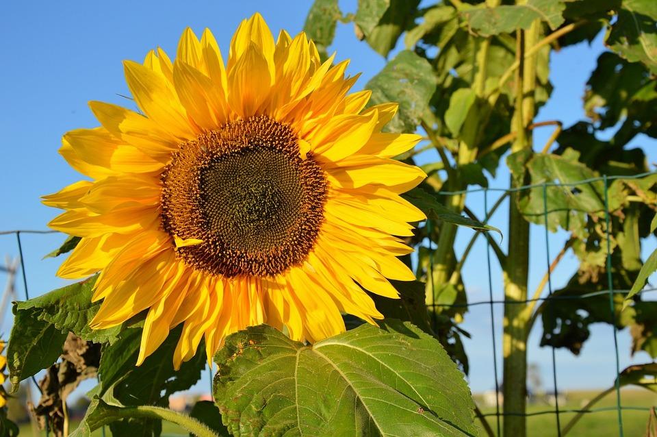 Nature, Sunflower, Flower, Floral, Plant, Natural