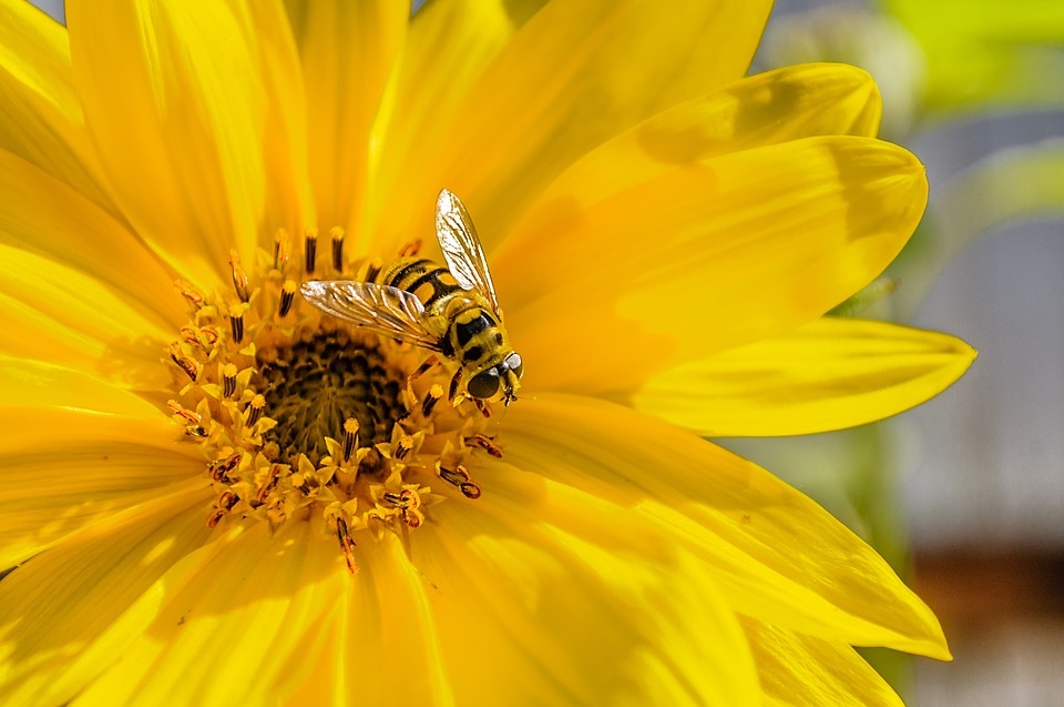 Nature, No Person, Plant, Pollen, Summer, Sunflower