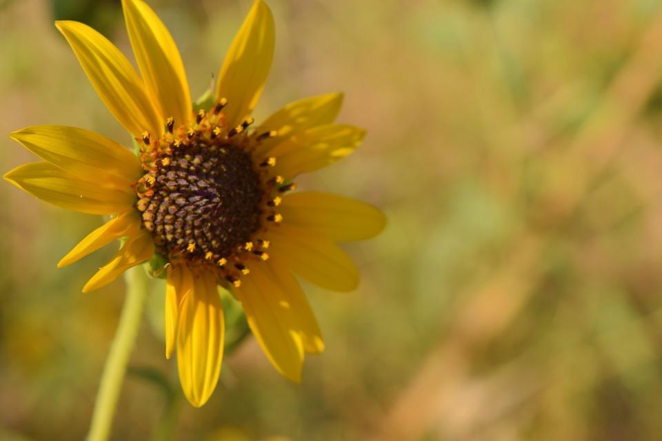 Sunflower, Sunny, Flower, Nature, Yellow, Plant
