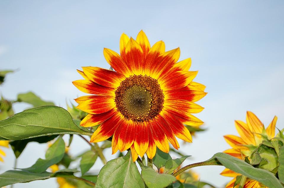 Sunflower, Flower, Yellow, Plant, Summer Flowers