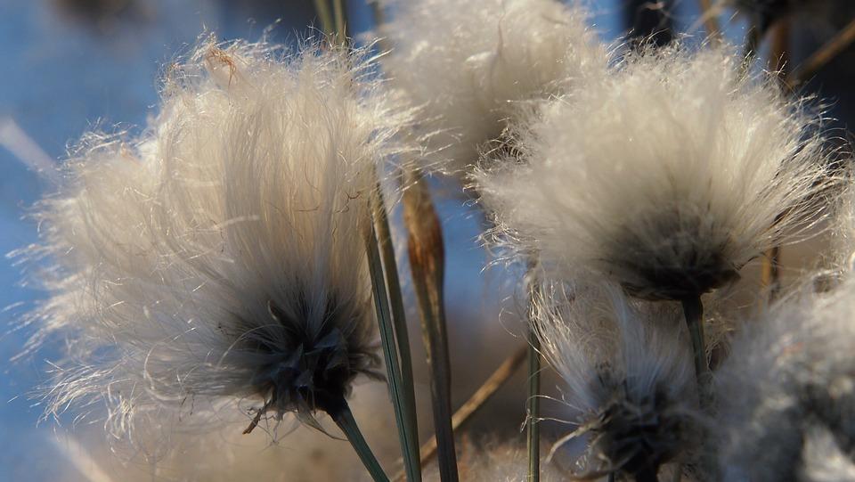 Cotton Grass, Plant, Swamp, Marsh, Flower