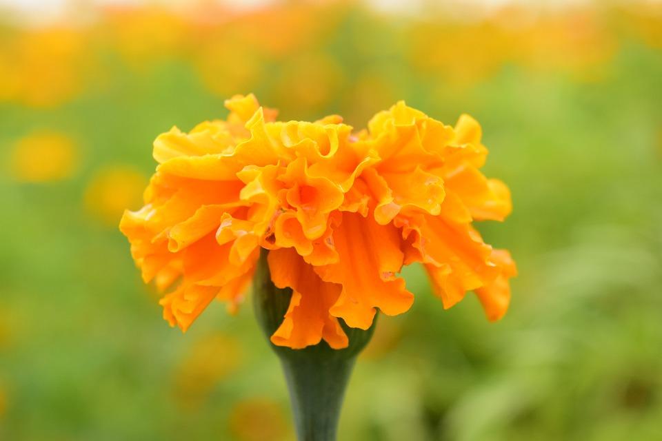 Tagete, Marigold, Blossom, Bloom, Plant, Orange, Flower