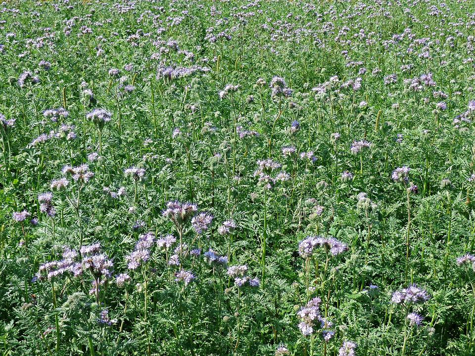 Tansy Phacelia, Plants, Honey, Flowers, Plant