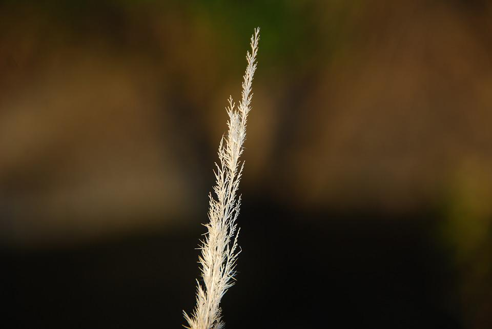 That Looks Dry And Withered Grass, Plant, Dry, Barren