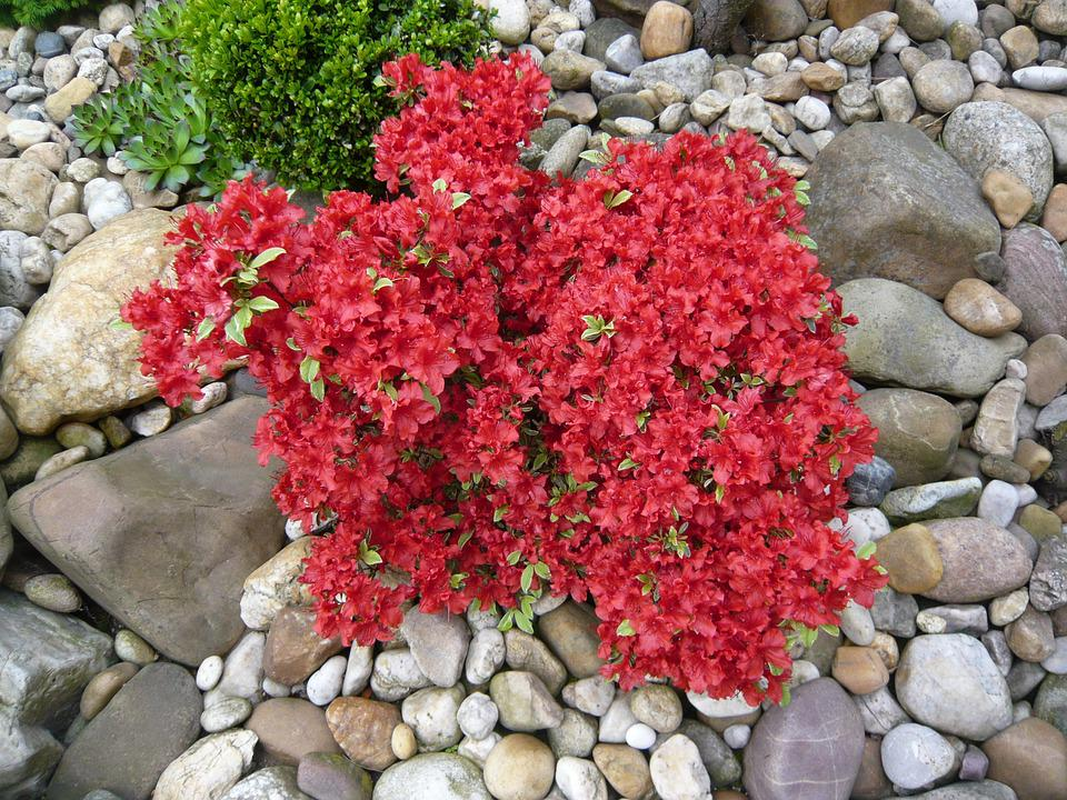 Azalia, Red, Flower, Plant, The Growing, Stone