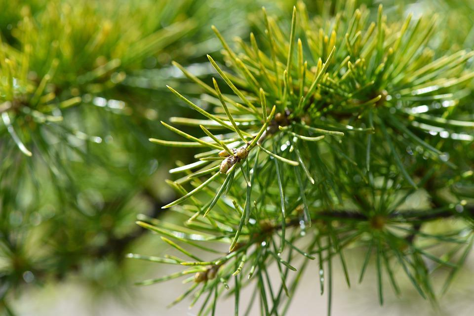 Tree, Plant, Cedar, Branch, Needles, Conifer, Nature