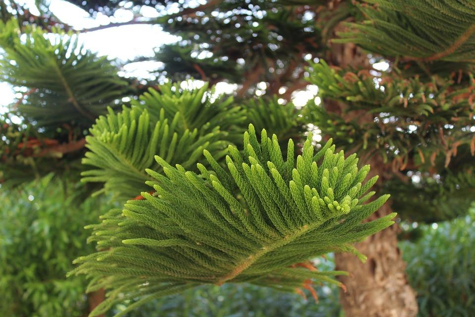 Tree In Greece, Spruce, Plant