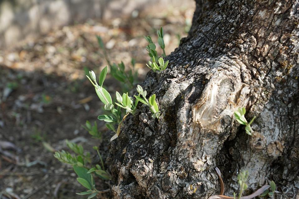 Olive Tree, Tree, Plant