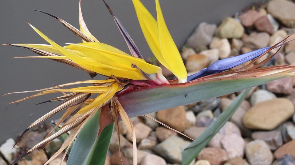 Bird Of Paradise Flower, Tropical, Plant