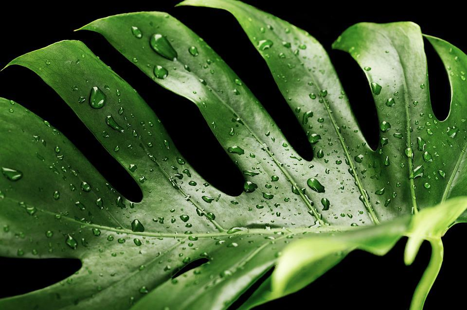 Green, Wet, Monstera, Plant, Tropical, Dew, Dewdrop