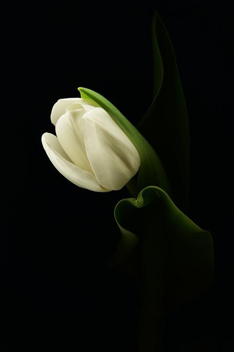 Tulip, Flower, Plant, Spring, White Tulip, White Flower