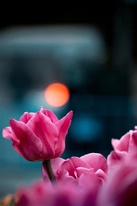 Tulips, Flower, Spring, Flora, Nature, Garden, Plant