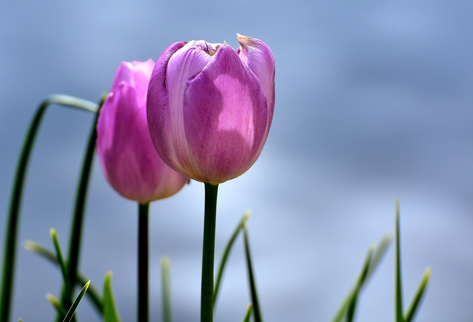 Free photo plant tulips pink flowers spring max pixel tulips pink flowers spring plant mightylinksfo