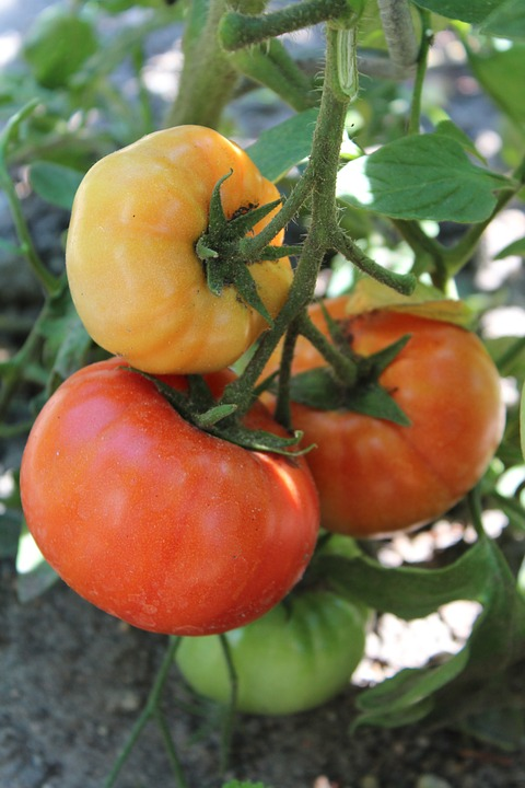 Tomatoes, Plant, Vegetables