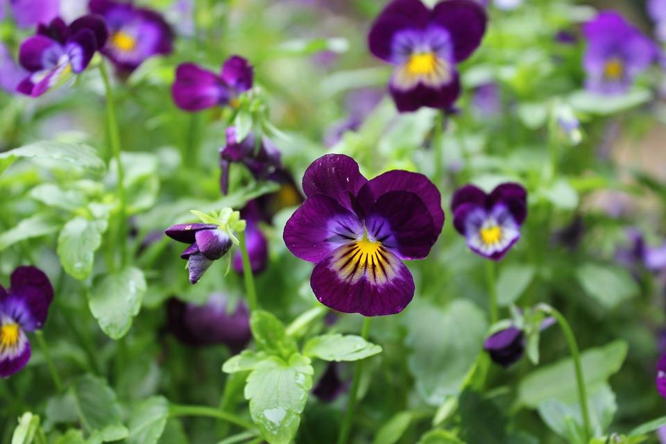 Blossom, Violet, Plant, Romantic, Flower