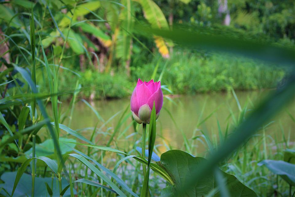 Lotus, Flower, Plant, Water Lily, Leaves, Foliage