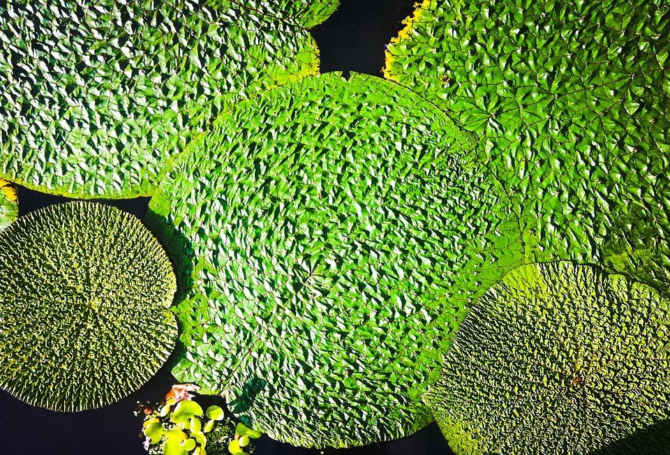 Plant, Waterlilies, Aquatic Plants, Nature