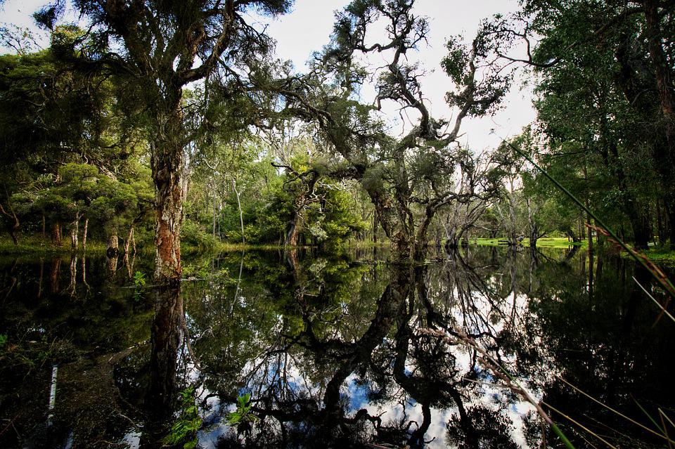 Wetland, Swamp, Paperbark, Plant, Lonely, Water, Trees