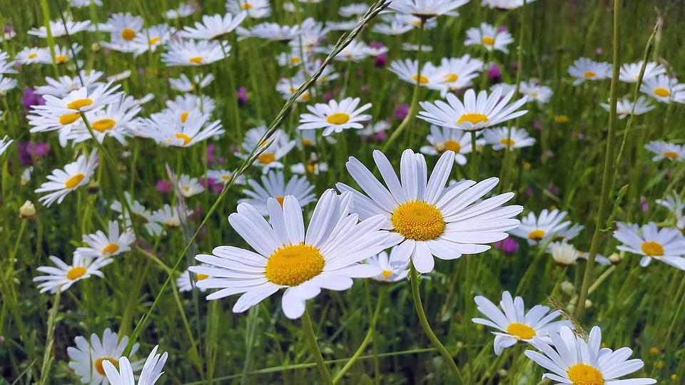 free photo plant white daisies meadow flower meadow margerite, Beautiful flower