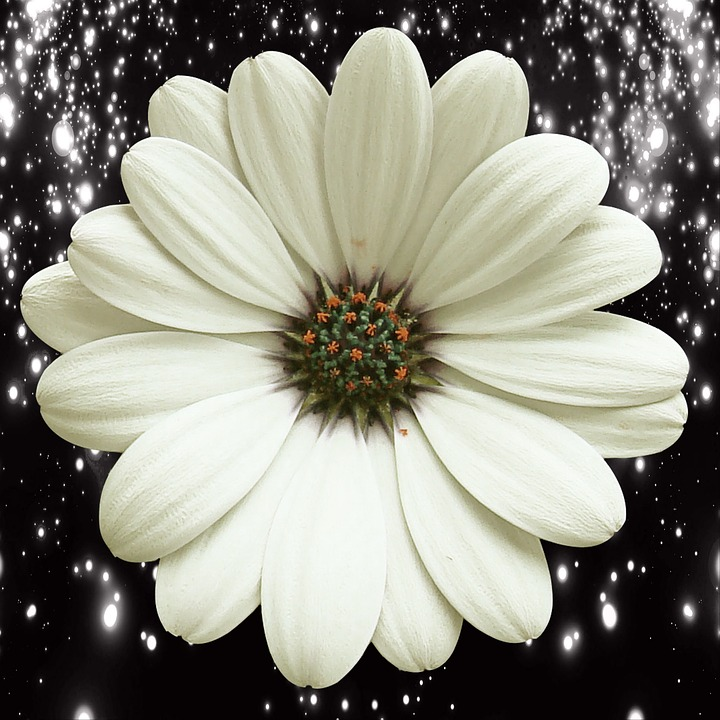 Flower, Nature, Petal, Flowering, Plant, White Daisy