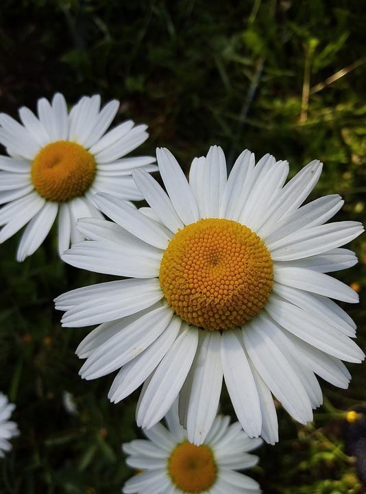 Nature, Plant, Flower, Field, Daisy, Summer, White