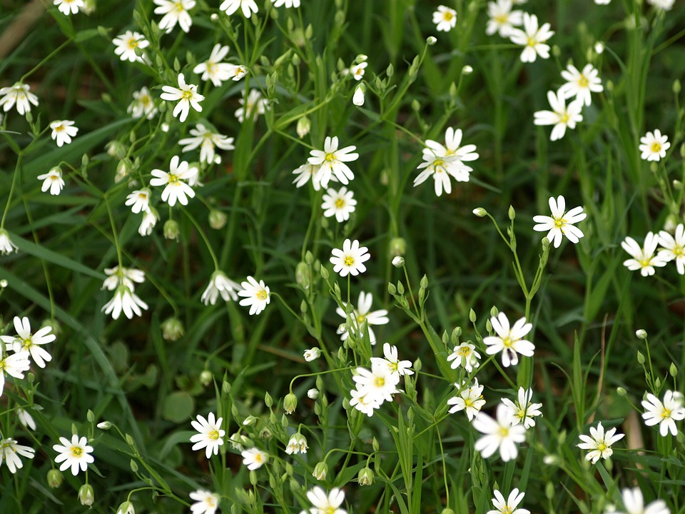 Chickweed, White, Plant, Flower, Bloom, Spring