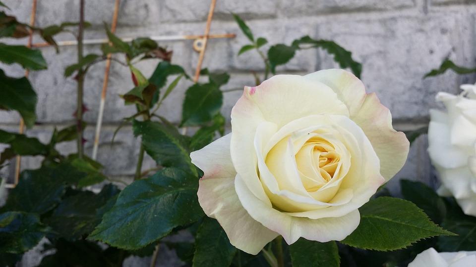 Rose, White, Plant