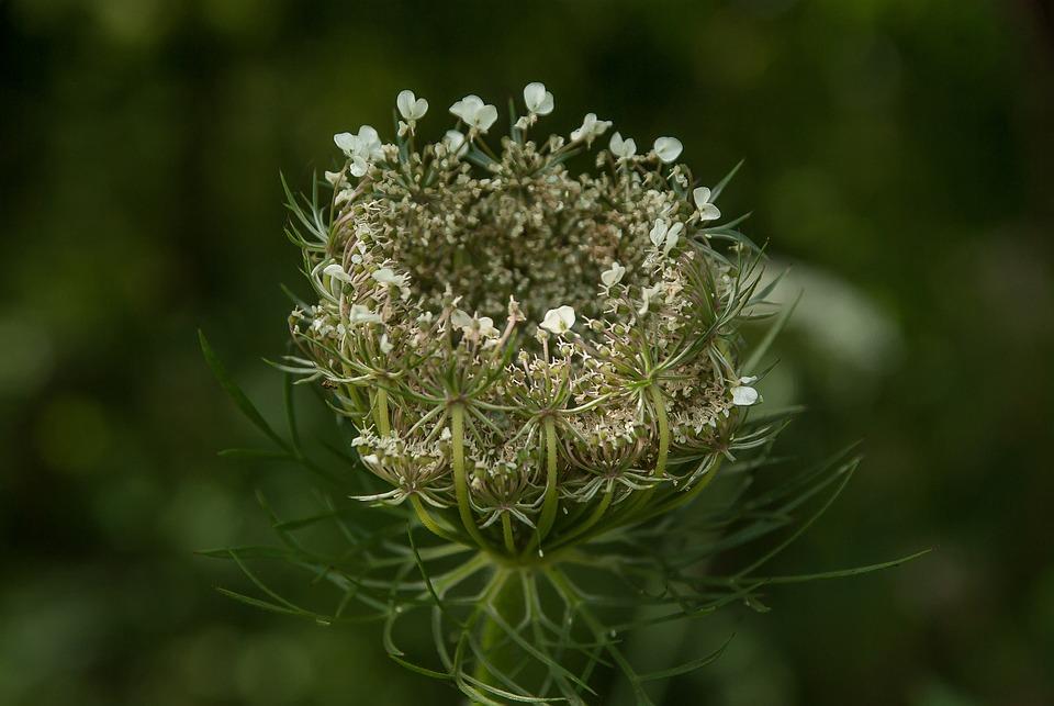 Plant, Wild Flower, Wild Carrot, Prairie