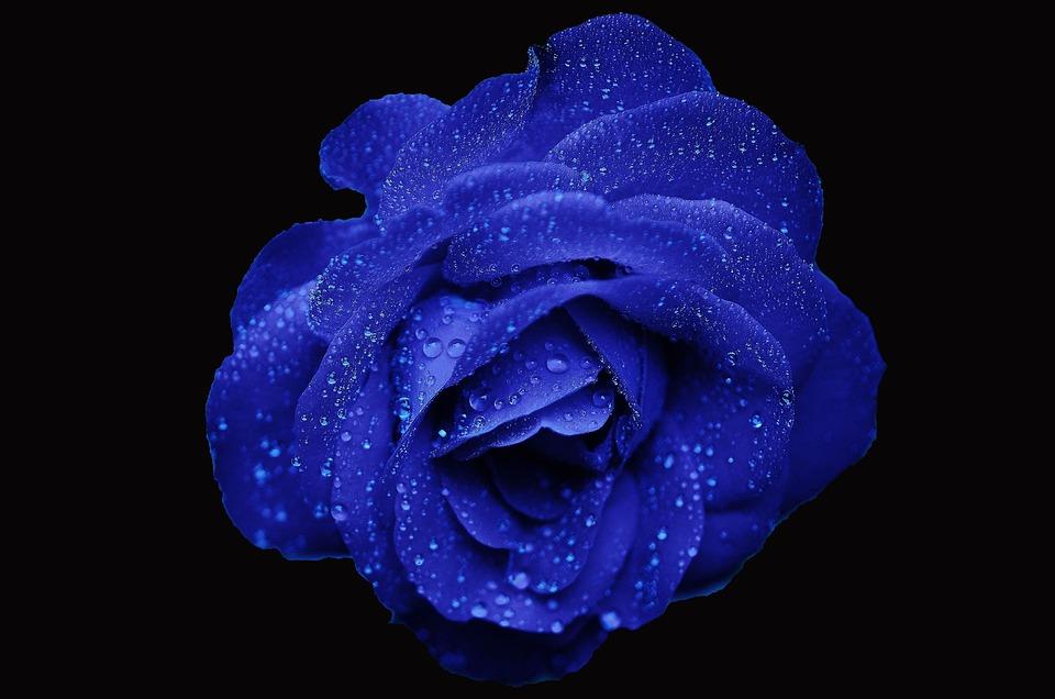 Rose, Wildflower, Flower, Floral, Plant, Natural