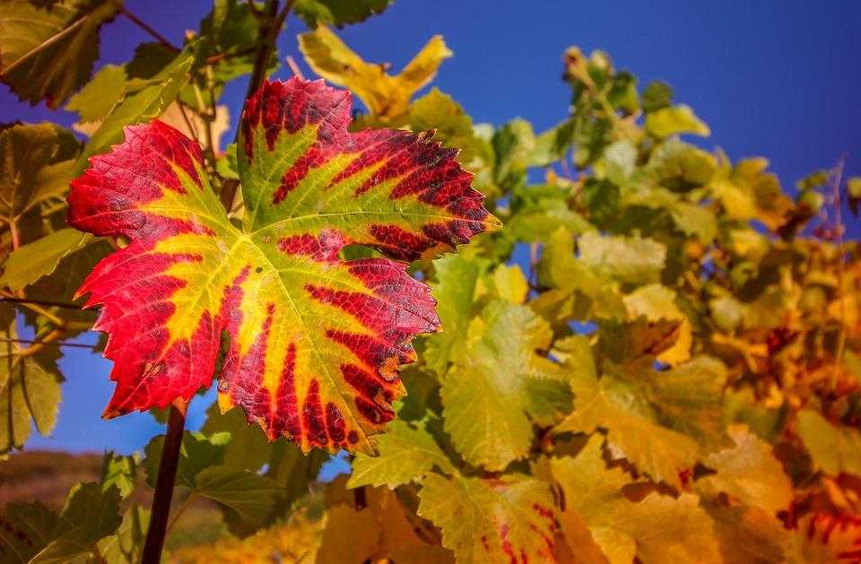 Wine Leaf, Nature, Plant, Leaf, Wine, Rebstock