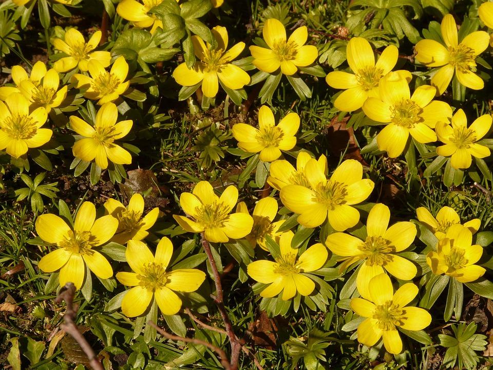 Winterling, Plant, Garden, Close, Macro, Flowers