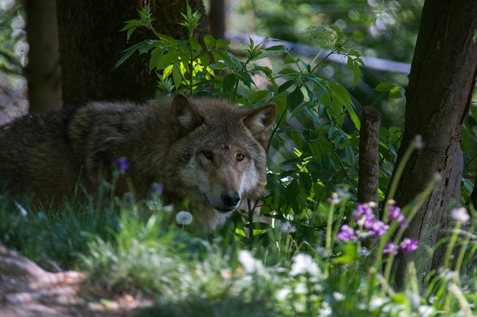 Wolf, Flower, Forest, Nature, Summer, Plant, Petals
