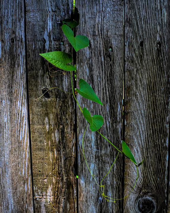 Vine, Fence, Leaves, Nature, Green, Wood, Plant, Summer