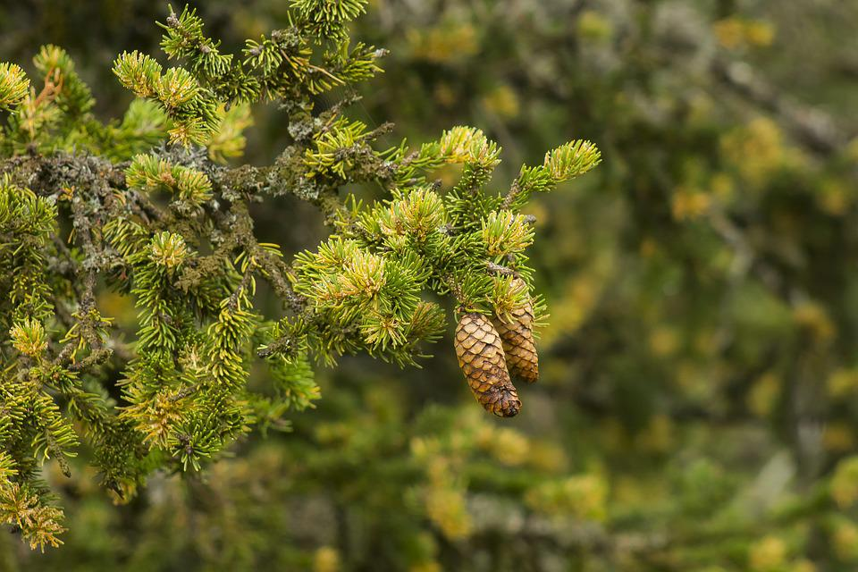 Pine, Cone, Zúzmós Pine, Wood, Nature, Branch, Plant