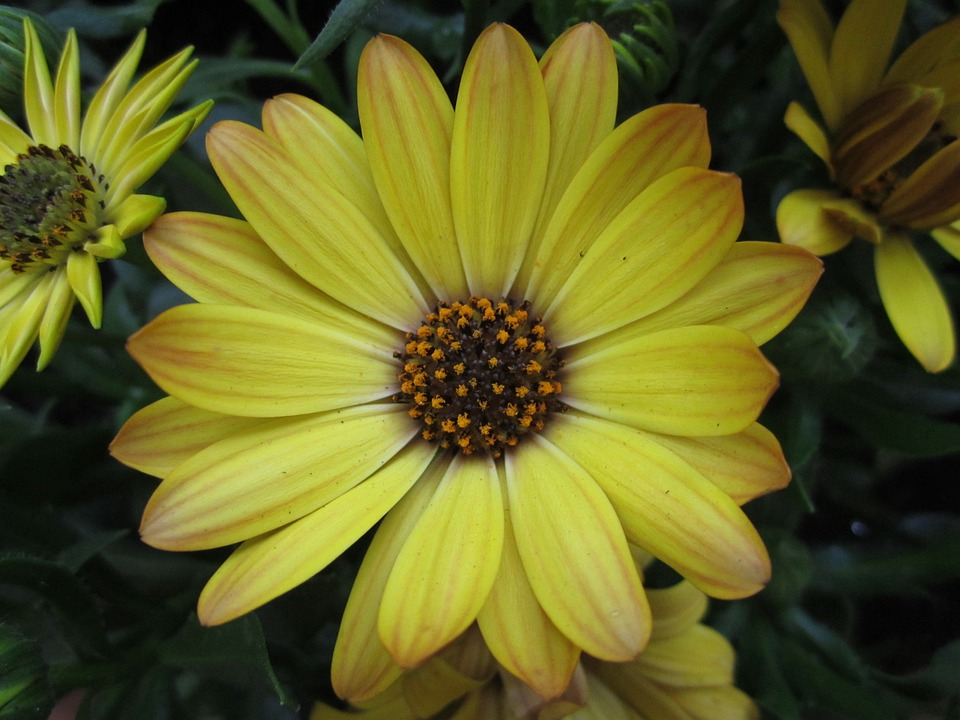 Plant, Flower, Marguerite, Blossom, Bloom, Yellow