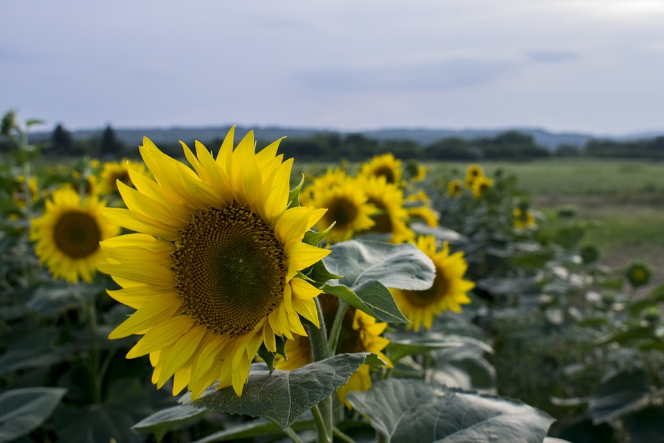 Sunflower, Yellow, Summer, Blooms At, Flower, Plant
