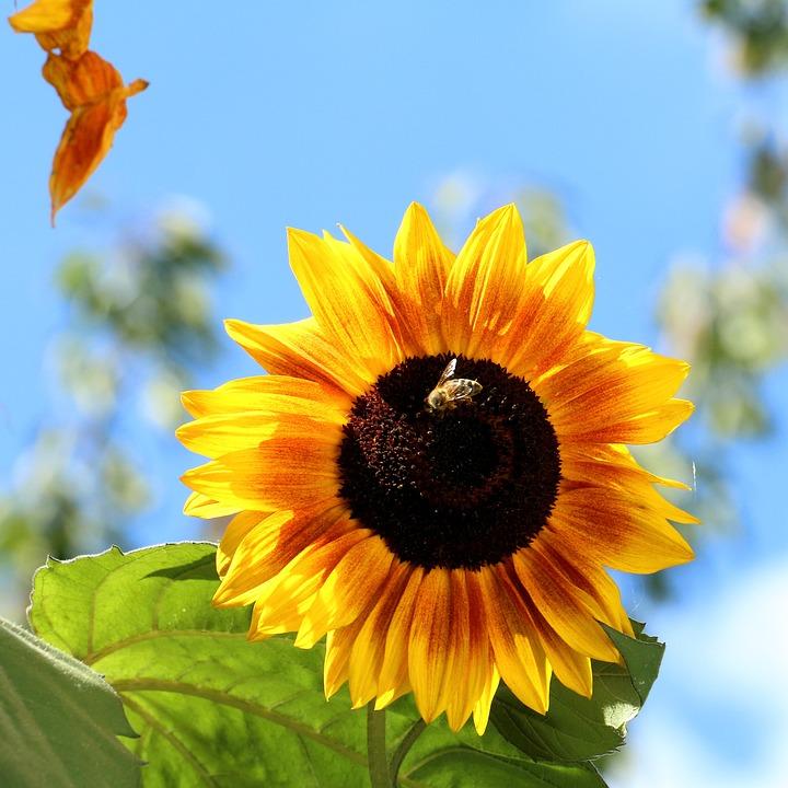 Sunflower, Flower, Yellow, Nature, Plant, Blossom