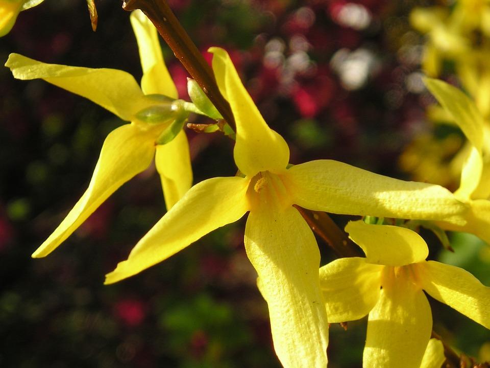 Forsythia, Yellow, Bush, Plant, Garden Forsythia