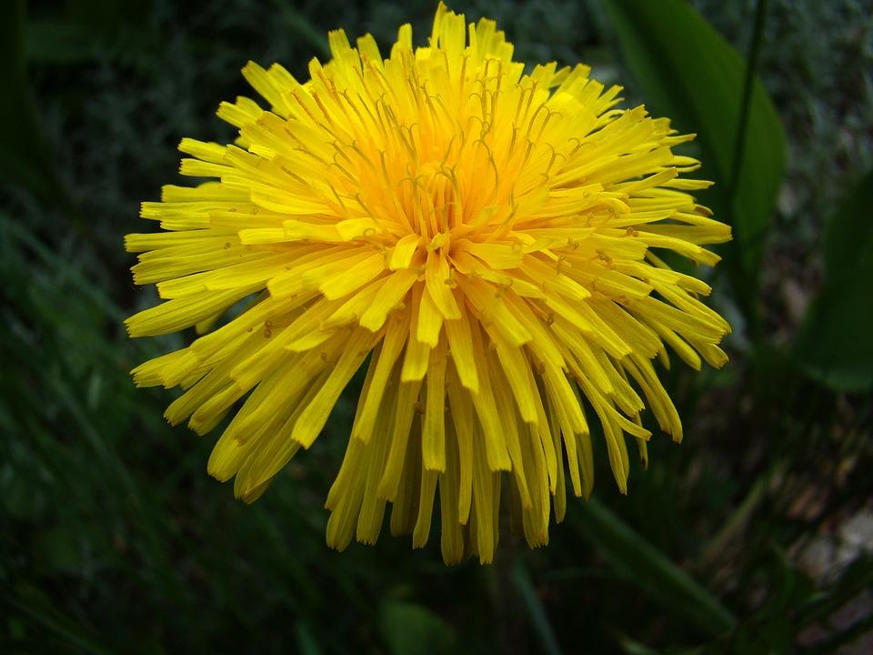 Dandelion, Plant, Weeds, Yellow, Summer, Flower