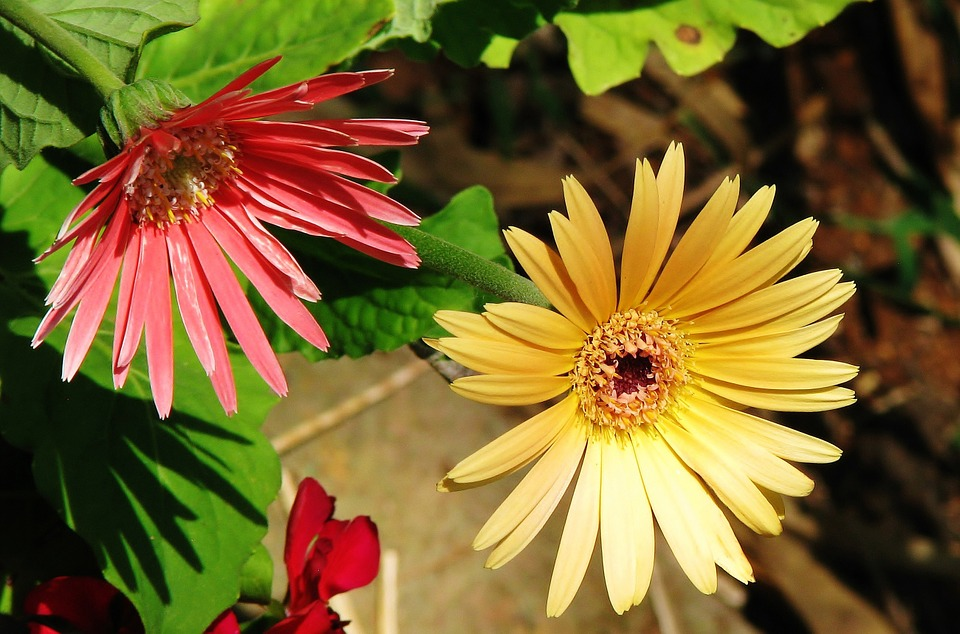 Flowers, Yellow, Red, Plant, Nature, Spring, Floral