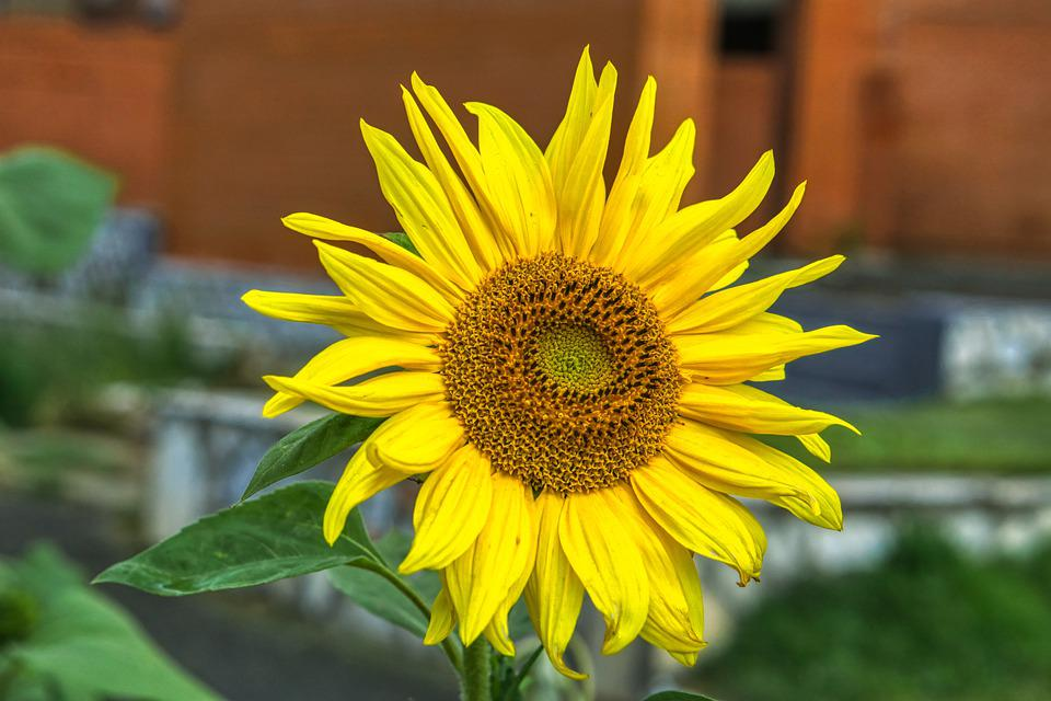 Sunflower, Flower, Plant, Yellow Flower, Petals, Bloom