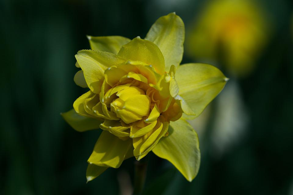 Narcissus, Flower, Nature, Plant, Yellow Flower, Close